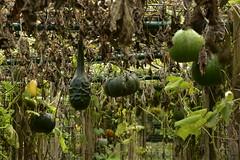 Potirons divers suspendus (Flikkersteph -5,000,000 views ,thank you!) Tags: botanicalgarden vegetables pumpkins nature wet mud lawn vegetation foliage autumn meise belgium