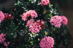 Take a Pink Flower (SerCorzo) Tags: outdoor outdoors contrast second colorful green verde nature blur bokeh morning plant colombia canon sunlight texture pink rosa flowers flower
