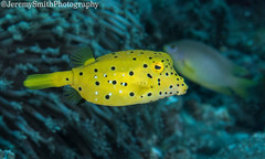 Yellow Boxfish (Juv), Ostracion cubicus, Alor, Indonesia (Jeremy Smith Photography) Tags: alamialor alamialordivecentre alor closeencounter divingalor divingindonesia indonesia jeremysmith jeremysmithphotographycouk nikond810 ostracioncubicusjuv scubadiver scubadiving subalnd810housing yellowboxfish