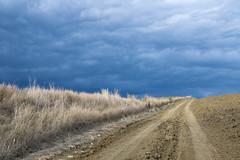 end of summer II (phacelias) Tags: nuvolescure donkerewolken darkclouds donkereluchten darksky cieloscuro erbabianca witgras bleacheddrygrass terra aarde soil withoutpeople zondermensen senzapersone
