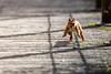 Saute! - Jump! (bboozoo) Tags: nature wildlife écureuil squirrel pont bridge jump saut canon6d tamron150600