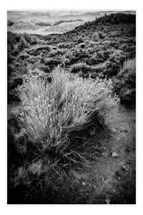 Desert path (ronnymariano) Tags: path 2017 landscape infrared nature bnw flowersplants outdoors ir monochrome blackandwhite deathvalley desert bridgeport california unitedstates us
