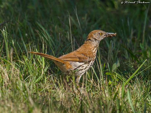"""Brown Thrasher (Lifer) • <a style=""""font-size:0.8em;"""" href=""""http://www.flickr.com/photos/59465790@N04/36853650403/"""" target=""""_blank"""">View on Flickr</a>"""