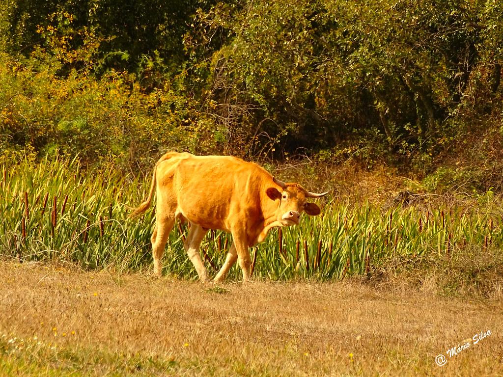 """Águas Frias (Chaves) - ... vaca de """"focinho torcido"""" ..."""