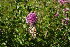 DSC05403.jpg (joe.spandrusyszyn) Tags: skaneateles unitedstatesofamerica newyorkstate monarchbutterfly danaus butterfly nature byjoespandrusyszyn lepidoptera anyelasvineyards insect nymphalidae danausplexippus arthropod animal