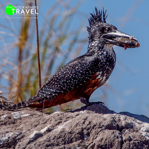 African Giant Kingfisher - Chobe 2014
