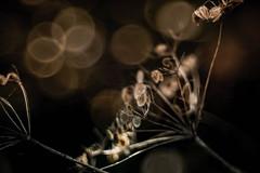 Kerbel mit Trioplan (udo w-a-n-n-i-n-g-e-r) Tags: vintage lens manual focus spring vintagelens manualfocus flora bokeh bokehlicious blumen pflanzen macro preset mth beyondbokeh manuallens manualfocusing manualexposure manualondigital udowanninger blumenwanninger macrotube macros dof smooth blur bokehgraph flowers flower garden nature ngc greatphotographers dreamy beautiful petals detail depthoffield smoothbokeh extremebokeh silkybokeh primelensprime