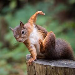 Itchy and Scratchy (Maria-H) Tags: redsquirrel formby england unitedkingdom gb sciurusvulgaris formbypoint merseyside uk olympus omdem1markii panasonic 100400
