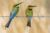 lagoon creek - more rainbow bee eaters (accepted Lake Macquarie National Exhibition 2017) (Fat Burns ☮ (on/off)) Tags: rainbowbeeeater meropsornatus beeeater bird australianbird fauna australianfauna lagooncreek barcaldine nikond500 sigma150600mmf563dgoshsmsports queensland australia nature outback outdoors