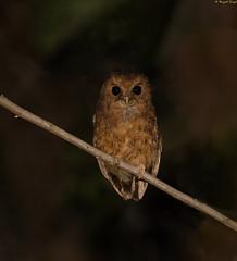 Cinnamon Screech Owl (Sarbhloh/Harjeet) Tags: perutrip2017 amazonas peru pe megascopspetersoni lifer579 huemboreserve
