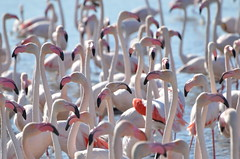 Overpopulated (dfromonteil) Tags: birds flamants flamingo oiseaux animal nature rose pink white blanc water lac lake eau bokeh