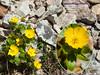 Snowpatch buttercup (Scrambler27) Tags: scrambler27 macro flowers buttercup yellow rocks hiking alpine alpineflowers ranunculus