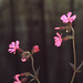 Lychnis dioica. Red campion. Dinas Powis 22.5.72