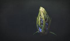 Nip it in the bud (charhedman) Tags: muttartgardens edmonton bud blackbackground light dark texture