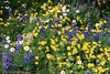 Anemone, Arnica, Fleabane & Lupines (gerry.bates) Tags: nature plants flowers perennials wildflowers alpine cascademountainrange ecmanningprovincialpark britishcolumbia canada nootkalupin lupinusnootkatensis arnica fleabane lupin anemone