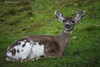 Phil (namra38) Tags: armanwerthphotography piebalddeer camporkila phil deer orcasisland washington washingtonstate