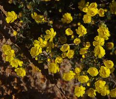Hibbertia hemignosta?, Toolibin, east of Narrogin, WA, 15/09/17 (Russell Cumming) Tags: plant hibbertia hibbertiahemignosta dilleniaceae toolibin narrogin westernaustralia