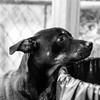 Puffin21Oct201728-Edit.jpg (fredstrobel) Tags: dogs pawsatanta phototype atlanta blackandwhite usa animals ga pets places pawsdogs decatur georgia unitedstates us