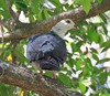 Columba leucomela 4 (barryaceae) Tags: sandbar smiths lake new south wales australia australianbird birds bird aves australianbirds ausbirds ausbird whiteheaded pigeon columba leucomela