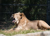 nap time... (tastigr) Tags: spring melbournezoo snooze melbourne animals lion
