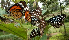 Sanjay Gandhi National Park: butterflies - Danaus genutia, the common tiger and Blue Tiger Tirumala limniace (John Steedman) Tags: bombay mumbai मुंबई india maharashtra महाराष्ट्र sanjaygandhinationalpark butterfly danausgenutia commontiger tirumalalimniace bluetiger