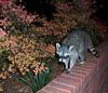Raccoon Roommate 002 (Val Hightower) Tags: raccoon hendrixcollege conwayarkansas hendrix conway arkansas