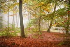 Herbststimmung im Buchenwald... (angelika.kart) Tags: natur wald nebel herbst bäume buchen buchenwald bunt äste