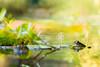 蛙的異想世界  Forg's Fancy World (Laban.tw) Tags: 臺北市 台北市 台灣 tw 金線蛙 ranafukienensis frog 青蛙 蛙 greenpondfrog