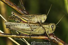 Cópula de la especie Saltamontes llorón ( Euprepocnemis plorans) (Esmerejon) Tags: cópuladedosejemplaresdelsaltamontellorón euprepocnemisploransagradezcopúblicamentelacolaboraciónenlaidentificacióndeloscompañerossusannevogel yjoséantoniohódarcorrea otravezmuchasgraciasfotografíarealizadaenlacharcadesuarezmotril eldía14102017 ortópteros uinsectos naturaleza dismorfismosexualreproducción saltamosntes