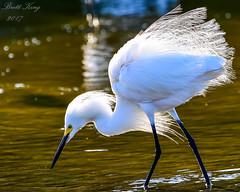 Snowy egret -II (dbking2162) Tags: birds bird wildlife water wading egrets heron white nature nationalgeographic