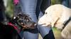Greetings (zola.kovacsh) Tags: outside outdoor animal pet dog school pup puppy dobermann doberman pinscher