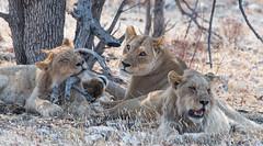 Lions (Guy Goetzinger) Tags: löwen tiere lion namibia africa etosha nikon d500 bush safari wildlife family animal wild mammal goetzinger tier säugetier big5 bigfive travel national park hunter predator cat afrique namibie voyage natinal 2018 живо́тное 动物 動物 dòngwù bete