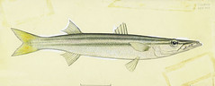 Anglų lietuvių žodynas. Žodis sea-pike reiškia n zool. jūrinė lydeka lietuviškai.