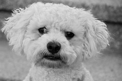 #4/117 - World Animal Day - 117 Pictures in 2017 (Krasivaya Liza) Tags: 4 4117 world animal day worldanimalday doggie puppy bichon bichonfrise 117picturesin2017 atlanta ga georgia granddog granddoggie bw blackwhite olivertwist ollie atl city cityscape south southern street streets art beltline o4w oldfourthward 117pictures 117 pictures 2017 challenge photo group picture photography photographer photos