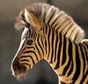 Damara zebra Duisburg BB2A2465 (j.a.kok) Tags: zebra damarazebra equus herbivore animal afrika africa duisburg mammal zoogdier dier