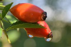 (mikros.anthropos) Tags: nikond3300 berlin friedrichshain rosarose communitygarden water drop tropfen wasser natur nature herbst autumn hagebutte rosehip