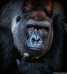 How You Doing (Robert Streithorst) Tags: cincinnatizoo gorilla headshot jomo robertstreithorst silverback zoosofnorthamerica