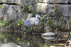 JUST LOOKING AROUND (Bill Vrtar Photo) Tags: blueheron heron lilypond millcreekpark