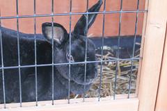 Rex Bunny (BowenGee) Tags: clarksfarmellicottcity clarks farm ellicott city howard county elioak goats goat bunnies bunnie bunny bunnys rabbit rabbits cows cow sheep pigs pig emu horses horse donkey enchanted forest animals hayrides baby