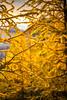 DSC08339 (www.mikereidphotography.com) Tags: larches fallcolors autumn canada canadianrockies lakemoraine larchvalley sentinelpass 85mm otus zeiss mirrorless a7r2 landscape golden