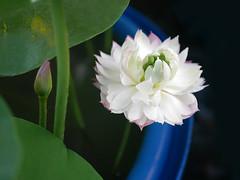 Nelumbo nucifera 'Fen Ling Long 13' Lotus Wahgarden 005 (Klong15 Waterlily) Tags: lotus lotusflower flower pond lotusland landscape smalllotus chineselotus thailandlotus garden wahgarden