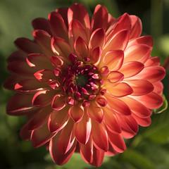 Petite merveille **---+°---° (Titole) Tags: dahlia titole nicolefaton petals squareformat flower thechallengefactory 15challengeswinner
