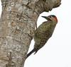 Green-barred Woodpecker_17-09-17_Colaptes melanochloros (Langham Birder) Tags: argentina iguazufalls greenbarredwoodpecker colaptesmelanochloros