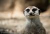 Suricato (Giancarlo Filippini) Tags: parco suricato mammifero fauna