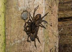 Arachtober 31st - #2 Amaurobius species mating (explored) (Anne Richardson) Tags: arachtober arachnid spider spiderseason macro macrophotography wildlife nature amaurobius spidersex laceweb