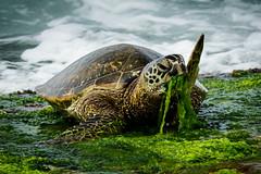 Hmmm - lunch || Oahu (David Marriott - Sydney) Tags: haleiwa hawaii unitedstates us oahu north shoer turtle lunch grass green oahuphototours