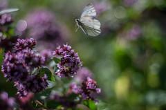 click (Stefano Rugolo) Tags: stefanorugolo pentax k5 smcpentaxm50mmf17 click hunt magic butterfly light bokeh sweden hälsingland sverige purple green white