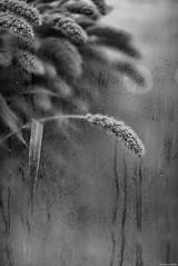 Respiration (Mathieu HENON) Tags: leica m240 noctilux 50mm noirblanc blackwhite monochrome france paris buée vitrine plante