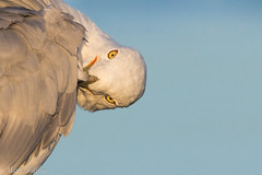 Ring-billed Gull Portrait (Matt F.) Tags: bird nature wildlife ring billed gull