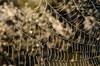 String Of Pearls (Marissen) Tags: mols molsbjerge bokeh drew perls spiderweb nikon105mmmacro f16